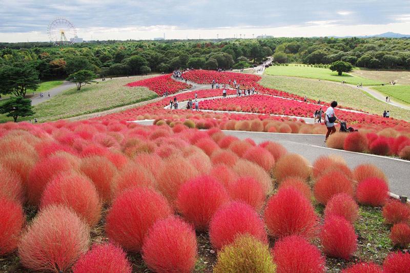 kochia-Hitachi-Park