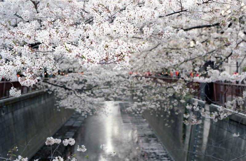 Kwitnące wiśnie- symbol Japonii