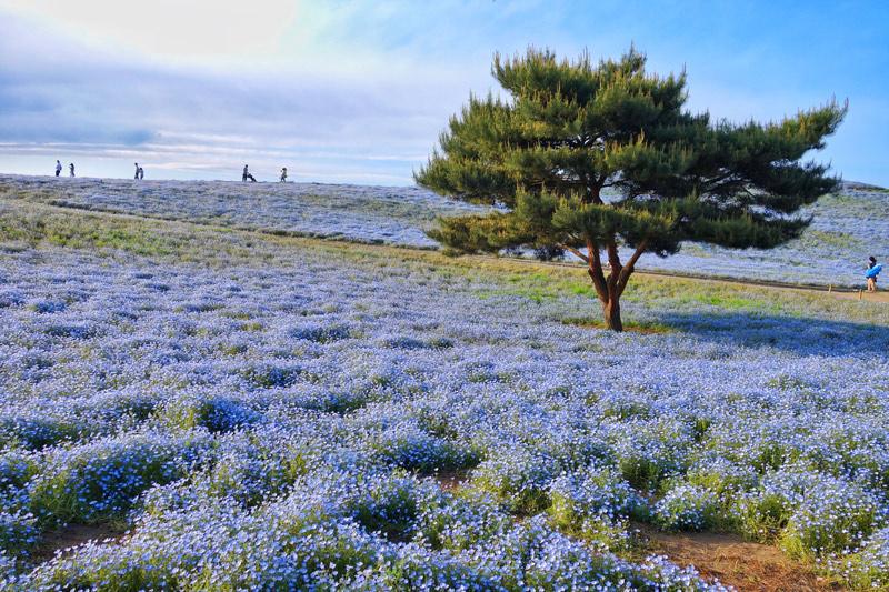 parki-kwiatowe-japonii-hitachi-park
