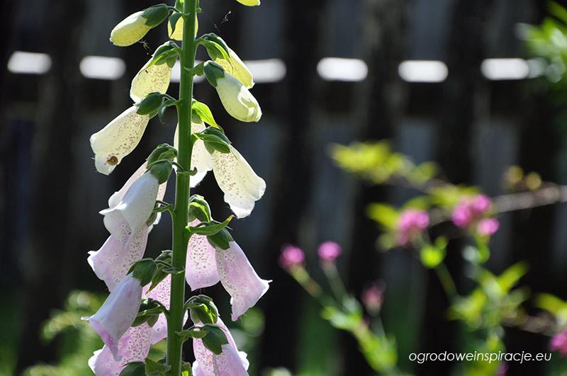 Pęd kwiatostanowy naparstnicy purpurowej