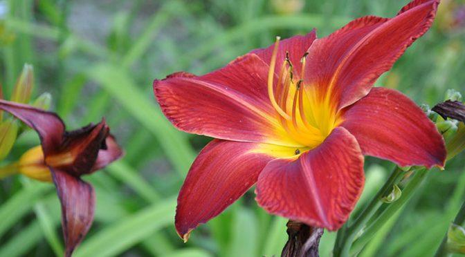 Liliowce – kwiaty jednego dnia