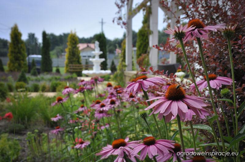 Jeżówka purpurowa – wzmacnia piękno i odporność