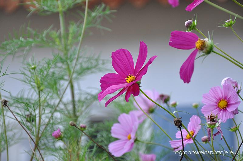 Kwiaty rustykalnej rabaty