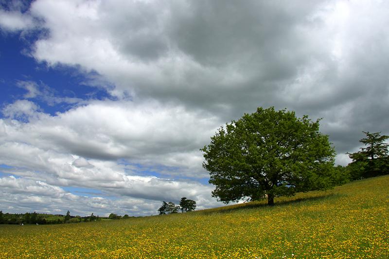 Samotne drzewo na łące