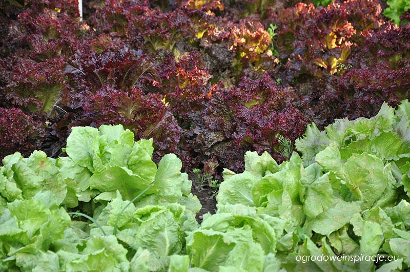 Kolorowe sałaty