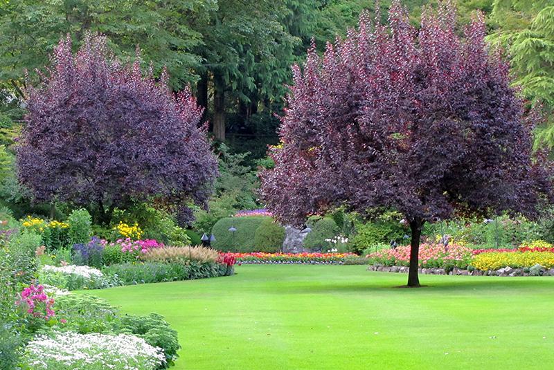 Bordowe drzewo na rabacie i trawniku