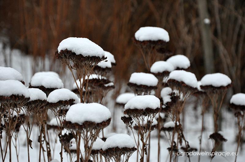 Uschnięte rozchodniki zimą