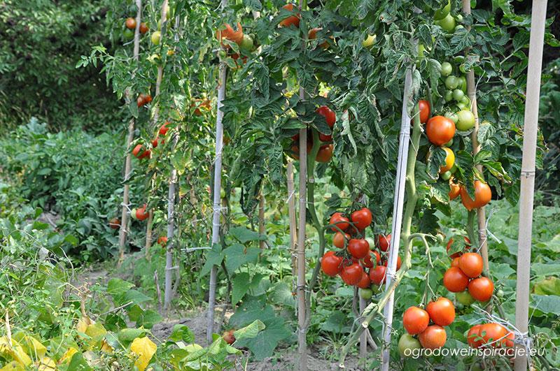 Pomidory w ogrodzie warzywnym