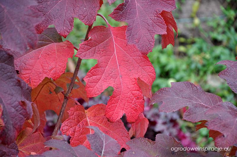 Hortensja dębolistna - liście jesienią.