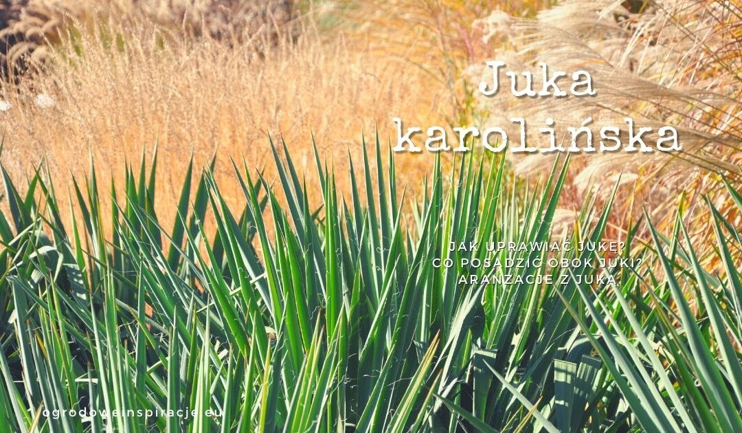 Juka ogrodowa (karolińska )