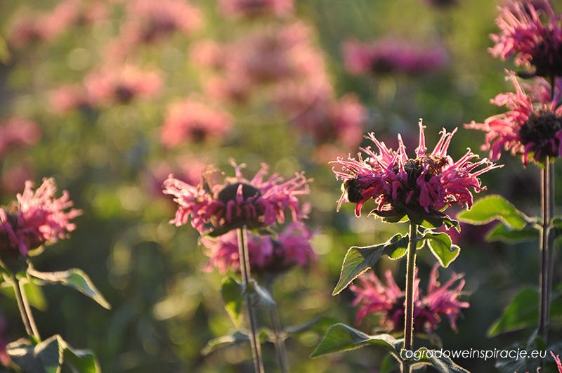 Kwiat  pysznogłówki i pszczoła