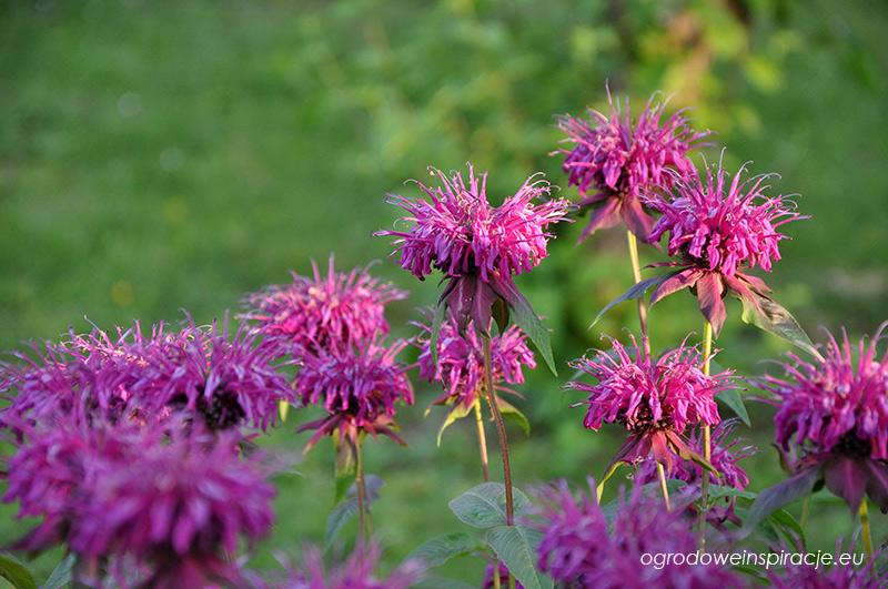 Kwiaty pysznogłówki