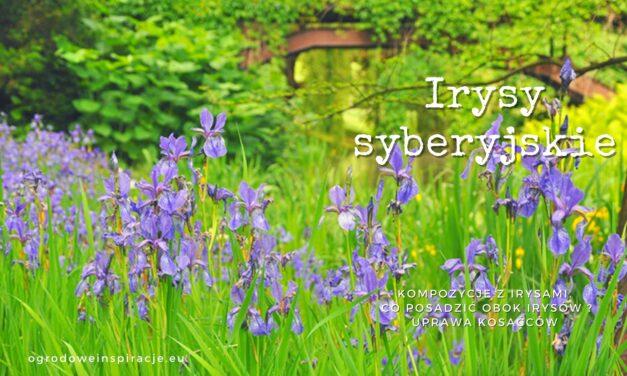 Irysy syberyjskie – kompozycje w ogrodzie